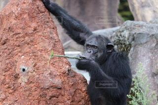 猿,動物,木,屋外,かわいい,黒,かっこいい,山,岩,動物園,ゴリラ,面白い,霊長類,サル,マウンテンゴリラ