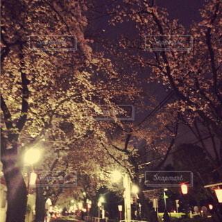 桜,夜桜,お花見,お散歩