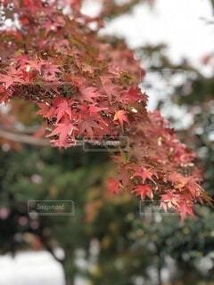 花,秋,紅葉,屋外,ピンク,葉,樹木,草木,カエデ