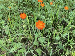花,屋外,コスモス,景色,オレンジ,草,コスモス畑,草木