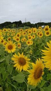 自然,空,花,屋外,ひまわり,雲,黄色,一面,草木,大群,咲き誇る