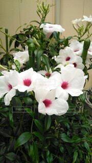 花,屋外,白,植木鉢,草木,鉢,育てる,フローラ,咲かせる