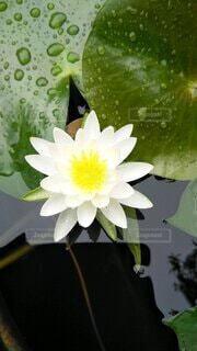 花,屋外,白,葉っぱ,黄色,水面,蓮,スイレン,水生植物,浮かぶ