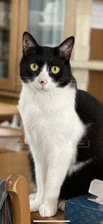 猫,動物,屋内,白,黒,子猫,座る