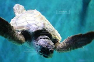 動物,水族館,水面,葉,水中,カメ,ウミガメ,爬虫類,亀,海獣,タイマイ,ケンプヒメウミガメ,緑のウミガメ