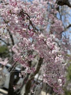 花,春,屋外,ピンク,樹木,草木,桜の花,さくら,ブロッサム