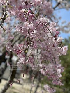 空,花,桜,屋外,ピンク,樹木,蕾,草木,さくら,ブロッサム