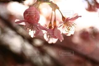 自然,花,春,桜,ピンク,草木,さくら,ブロッサム