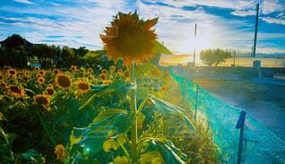 自然,空,花,屋外,向日葵,絵画
