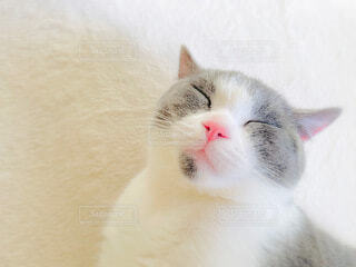 猫,動物,屋内,白,癒し,お昼寝,ほっこり,ブリティッシュショートヘア