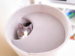 猫,動物,白,癒し,かくれんぼ,cat,ブリティッシュショートヘア,ちらり