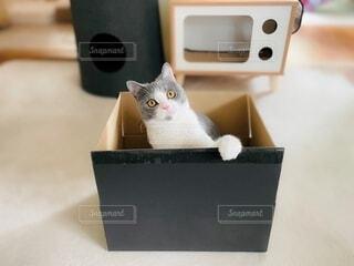 猫,動物,屋内,癒し,cat,ダンボール,ブリティッシュショートヘア,箱入り