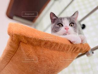 猫,動物,ハンモック,癒し,cat,ブリティッシュショートヘア,キャットウォーク,ニャンモック