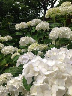 自然,紫陽花,梅雨,談山神社,白い紫陽花
