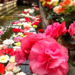 水路に浮く花の写真・画像素材[1391211]