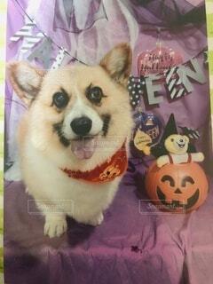 犬,動物,屋内,オレンジ,イベント,かぼちゃ,子犬,お祝い,仮装,記念