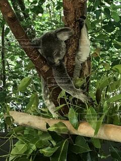 動物,屋外,コアラ
