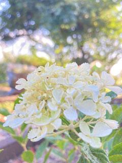 花,白,紫陽花,草木,アジサイ