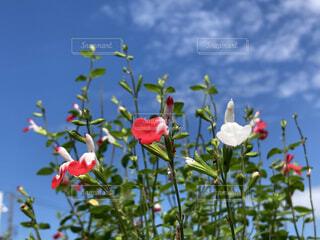 空,花,赤,白,雲,草木,チェリーセージ,フローラ
