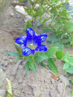 青いリンドウの写真・画像素材[4899035]