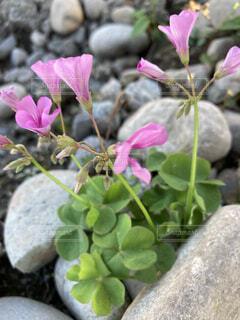 石の隙間から咲いた花の写真・画像素材[4903971]