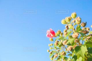 風景,空,花,屋外,青い空,背景,カラー,コントラスト,草木,芙蓉,絵画のような,絵に描いたような