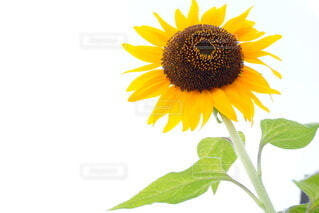花,夏,ひまわり,黄色,可愛い,ミラーレス,草木,キク目