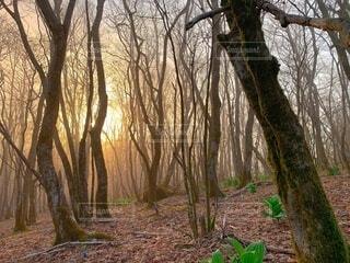自然,風景,春,森林,木,屋外,樹木,朝,靄,霞