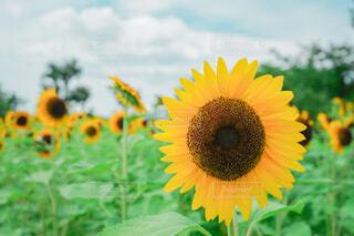 自然,空,花,夏,緑,ひまわり,雲,青,黄