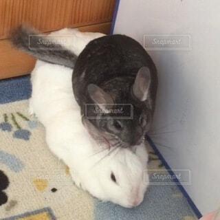 動物,仲良し,小動物,チンチラ,ミニウサギ,ウサギ,齧歯類,チンチラグレー,親子亀みたい