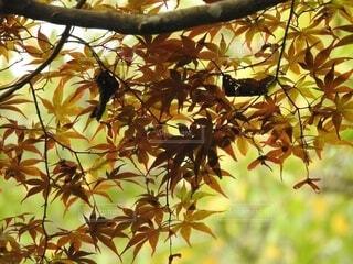 秋,草木,カエデ
