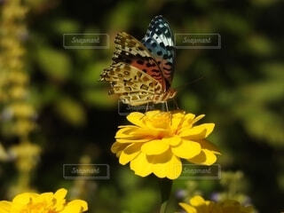 ヒャクニチソウにツマグロヒョウモンが美味しいそうにの写真・画像素材[4904584]