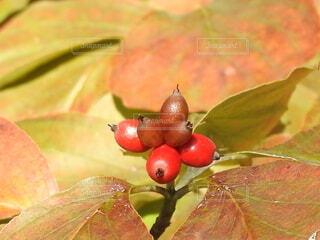 食べ物,秋,果物,樹木,ブドウ,草木