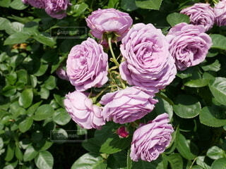 花,バラ,薔薇,ブルー,草木,ブルーローズ,フロリバンダ,ハイブリッドティーローズ,ローザセンチフォリア