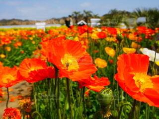 花,屋外,植物,赤,ポピー,カラー,草木,トウモロコシのケシ