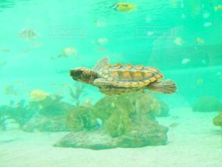 動物,魚,水族館,水面,葉,水中,カメ,ウミガメ,爬虫類,亀,タイマイ,海洋無脊椎動物,海洋生物学,生命体,ケンプヒメウミガメ