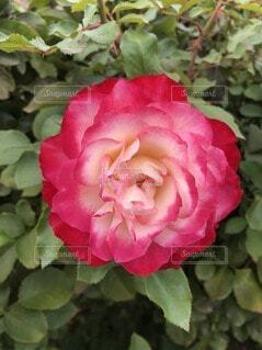 花,バラ,花びら,草木,フローラ,フロリバンダ,ハイブリッドティーローズ