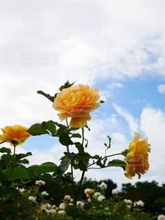 花,花束,黄色,バラ,花びら,薔薇,草木,ガーデン
