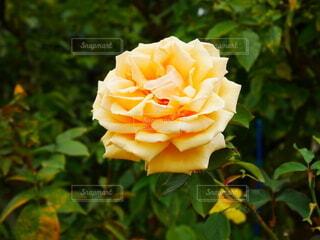 花,屋外,バラ,薔薇,樹木,草木,フロリバンダ,ハイブリッドティーローズ