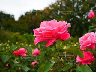 花,屋外,ピンク,バラ,花びら,薔薇,樹木,草木,ガーデン