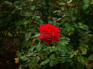 花,屋外,赤,バラ,薔薇,草木,ガーデン,フロリバンダ