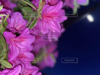 空,花,ピンク,花びら,ツツジ,草木,ブルーム