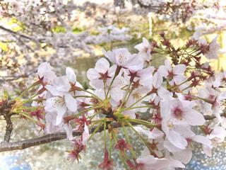 花,春,桜,ピンク,枝,川,花びら,かんざし,近影