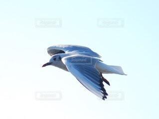 空,動物,鳥,屋外,飛ぶ,カモメ,翼