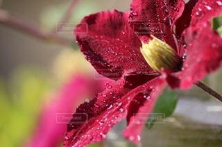 自然,花,雨,水滴,ドロップ,クレマチス,草木,クローズ アップ