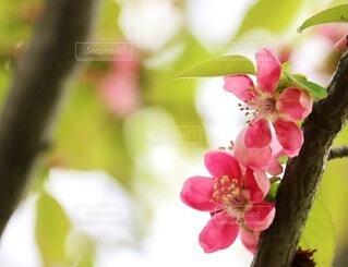 自然,花,景色,flowers,草木,fleur,ブルーム,ブロッサム,花梨,blooming