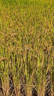 屋外,田舎,草,田んぼ,稲,草木,パターン