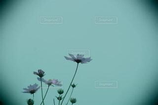 花,秋,コスモス,秋桜,季節の花,草木