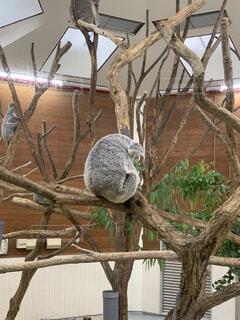 動物,屋外,樹木,しょんぼり,動物園,コアラ,落ち込む,悩む