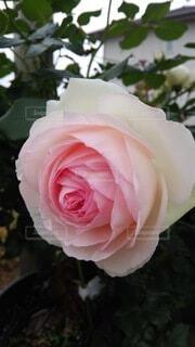花,バラ,薔薇,草木,ガーデン,フロリバンダ,ハイブリッドティーローズ